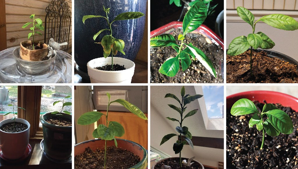 Etrog plants Judah (left to right, from top), Simeon, Joseph, Napthali, Levi and Asher, Reuben, Benjamin and Zebulon. (Courtesy: Joy Urbach and all of the plant parents)