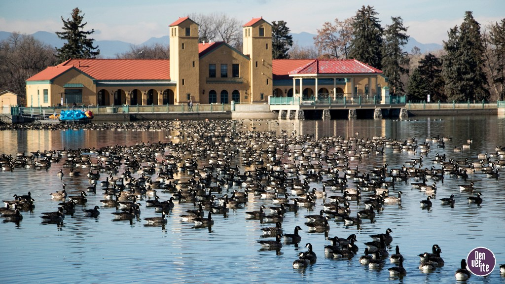A great many Canada geese on Ferril Lake in City Park, Nov. 29, 2018. (Kevin J. Beaty/Denverite)