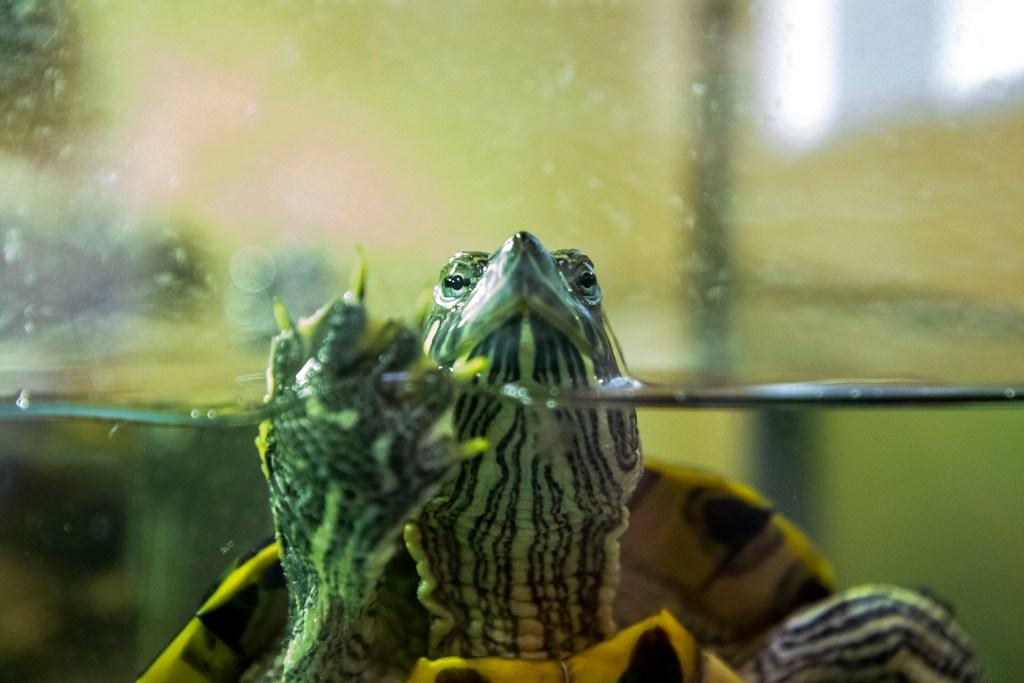 A turtle up for adoption at the Denver Animal Shelter. July 10, 2020.