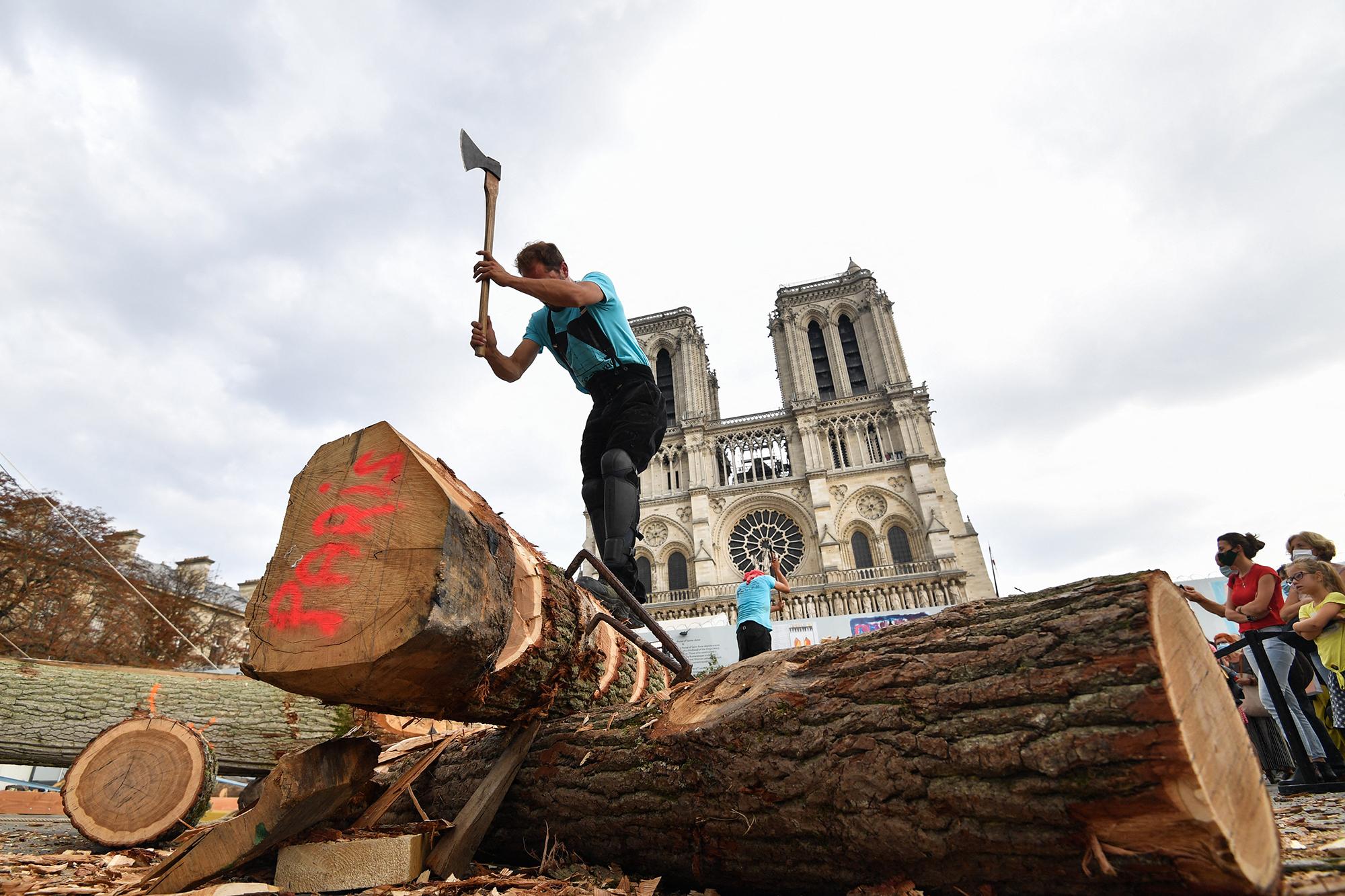 Notre-Dame de Paris : les premiers chênes de la flèche ont été sélectionnés