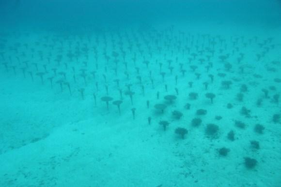 サンゴの養殖