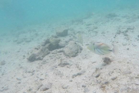 瀬底ビーチ ムラサメモンガラ