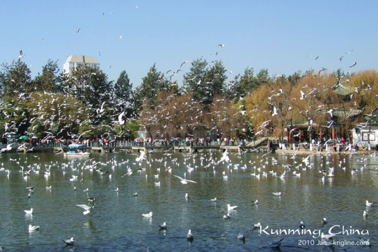 "We lived in Kunming for five wonderful years. One of Vivian's favorite things to do was to visit Green Lake Park, where Siberian seagulls wintered. This is a photo from ""the good ol' days."""