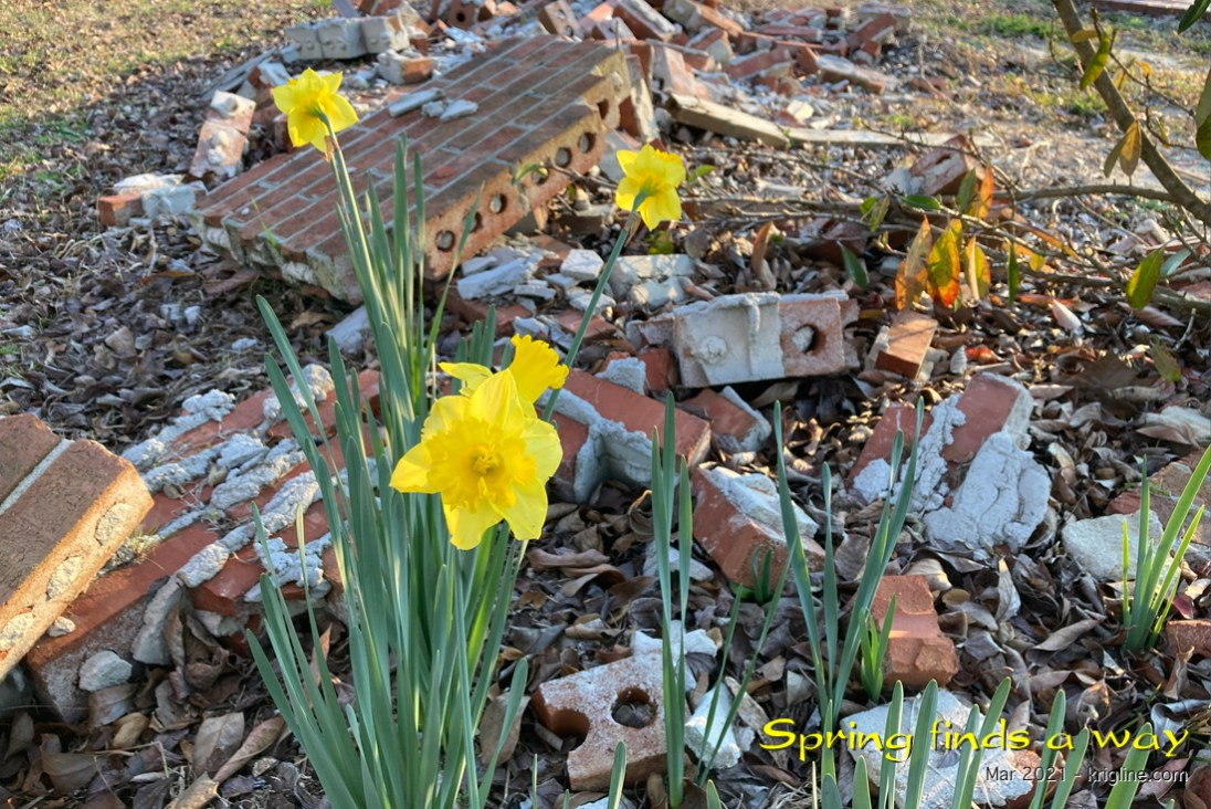 These tenacious daffodils reminded me that God's beauty triumphs over life's disasters. (The Garden Club building burned down some time ago, but no one told the flowers to find a new location!)