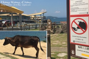 "Yes, there are ""wild cows"" (no owner) in these hills, as well as just outside where I'm staying. (This cow is on Grass Island.) I also saw monkeys; fortunately, I didn't see any of the large snakes. We don't have any of those in Mongkok. You can see the ferry at the pier."