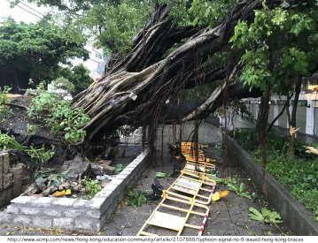 This photo was in the paper; even this sturdy banyan tree (near a favorite bus stop close to church) finally succumbed to the strong winds. I wonder how many typhoons it saw in its long life?