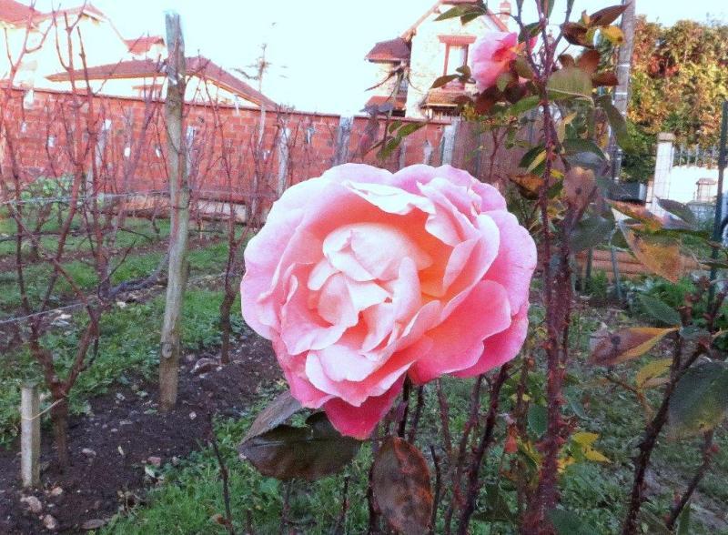 Grâce à la COP 21 les roses fleurissent en décembre