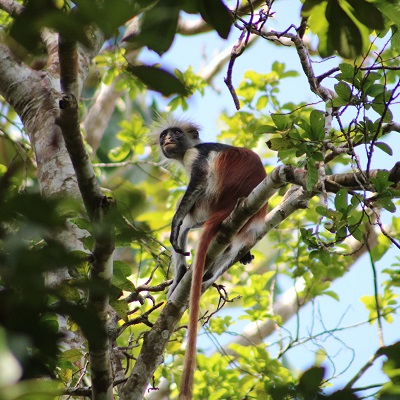 Living with human disturbance: conservation physiology of a wild African primate