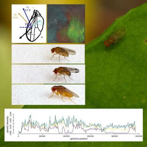 Aerodynamic invasions: does the biomechanics of flight affect dispersal and genetic diversity in invasive species?