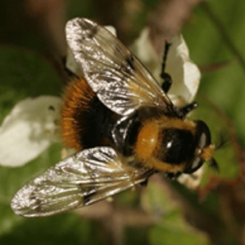 The evolution of mimicry in a changing world: how shifting bumblebee communities affect selection on a colour-polymorphic hoverfly