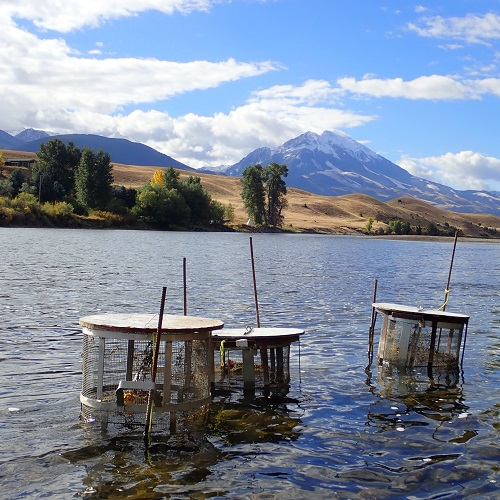 Fishing for parasite genomes: host-parasite co-evolution of an emerging salmonid disease