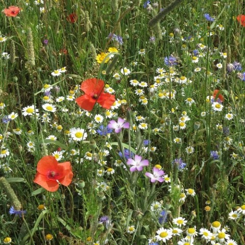 Exploring drivers of rarity in the arable weed flora