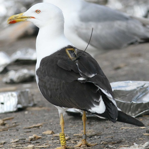 How do birds contribute to the spread of antimicrobial resistant microorganisms?