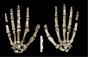 H. naledi hand (Creative Commons)