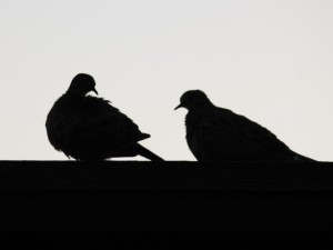 pigeons in silhouette 08.17.14