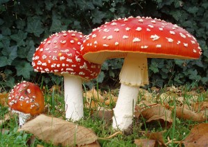 """2006-10-25 Amanita muscaria crop"" by Amanita_muscaria_3_vliegenzwammen_op_rij.jpg: Onderwijsgekderivative work: Ak ccm - This file was derived from: Amanita muscaria 3 vliegenzwammen op rij.jpg:. Licensed under CC BY-SA 3.0 nl via Commons - https://commons.wikimedia.org/wiki/File:2006-10-25_Amanita_muscaria_crop.jpg#/media/File:2006-10-25_Amanita_muscaria_crop.jpg"