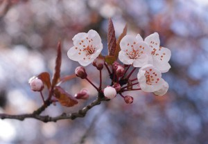 Cherry blossoms in Vancouver [CC BY-SA 3.0] by Eviatar Bach