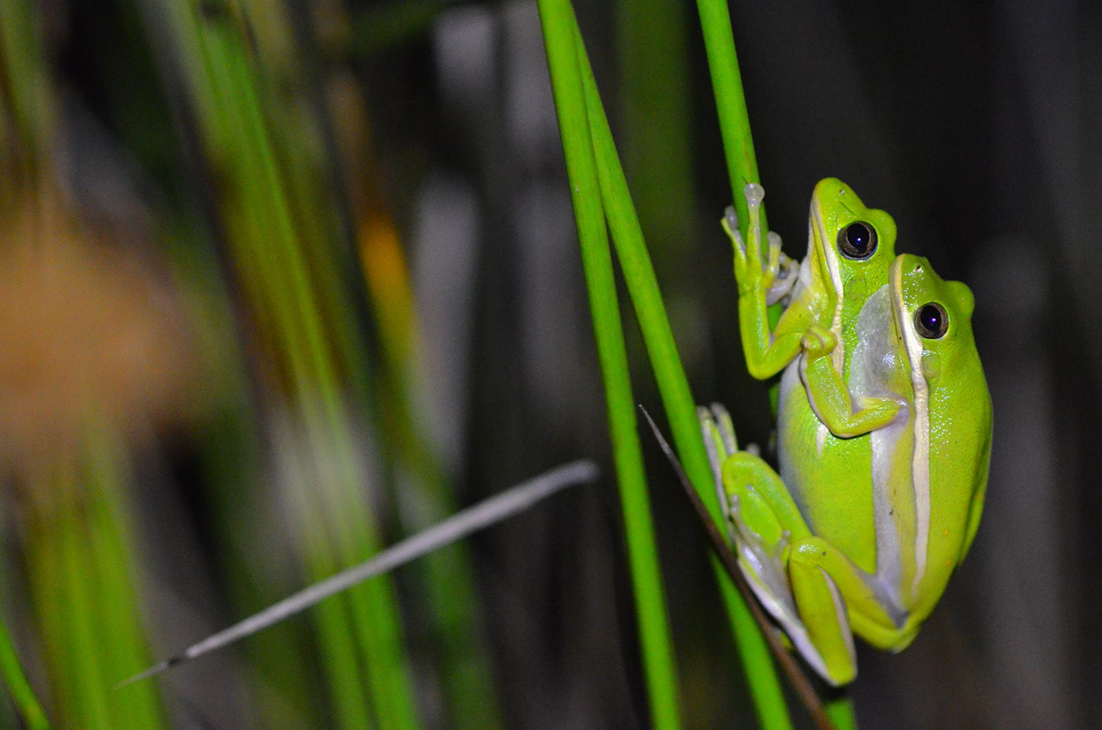 A photo of a pair of green tree frogs.