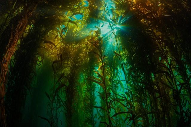 kelp forest off California coast