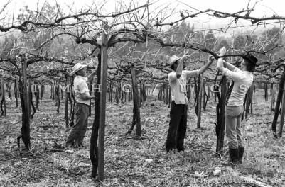 Poda da parreira, executada durante o inverno. Nova Roma – Flores da Cunha, RS, déc. 1980. Autoria: Aldo Toniazzo e Ary Trentin.