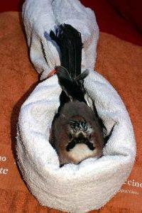Stabilisierung von Vögel, die nicht aufrecht sitzen können, © Anke Dornbach