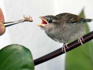 Junger Spatz wird mit Heimchen gefüttert, © Richard Rastetter