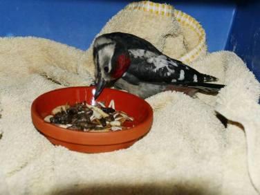 Glück gehabt: trotz Kopfschiefhaltung ist der Specht in der Lage, selbst zu fressen, © Nadja Koch