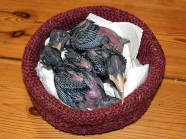 Junge Schwarzspechte, etwa 6 Tage alt, © Anke Dornbach