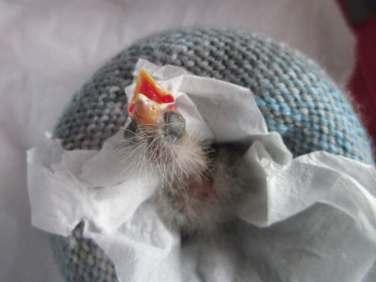 Grünfinken-Nestling, © Iris Dunham