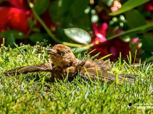 Eine Amsel nimmt ein Sonnenbad, © Michael Schleicher