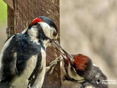 Junger Buntspecht wird vom Vater gefüttert, © Michael Schleicher