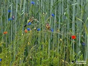 Stieglitze sind angewiesen auf Samen von Wildkräutern, © Michael Schleicher