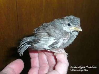Junger Haussperling, Aufzucht mit Nestlingsfutter, massive Gefiederdefekte, Vogel verstarb, © Monika Löffler-Friedrich