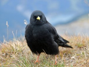 Alpendohle (Pyrrhocorax graculus), © Björn S... via Flickr