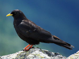 Alpendohle (Pyrrhocorax graculus), © Mickaël Dia via Flickr