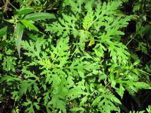 Ambrosia oder Beifußblättrige Ambrosie (Ambrosia artemisiifolia), © Forest and Kim Starr via Flickr