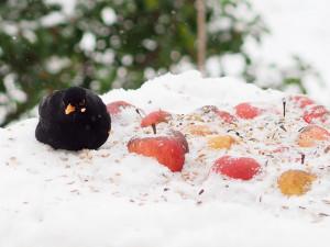 Frische Äpfel gehören zu den Futtermitteln, die Amseln besonders gern fressen, © uschi dreiucker / Pixelio.de