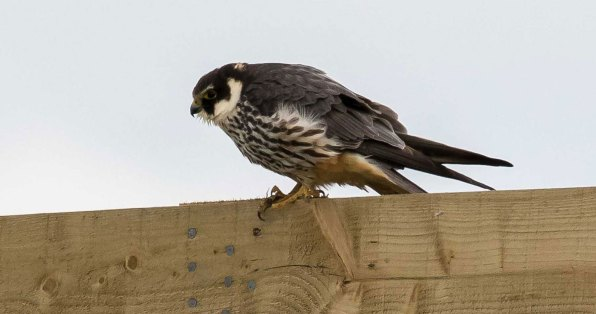 Faucon hobereau adulte, © Smudge 9000 via Flickr