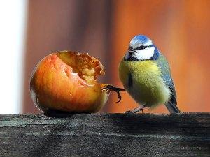 Blaumeisen fressen vor allem Sämereien, Nüsse und Fettfutter, aber auch frisches Obst nehmen sie oft zu sich, © Peter Bohot / Pixelio.de