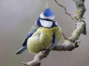 Die Blaumeise hieß vor bis nicht allzu langer Zeit wissenschaftlich Parus caeruleus, wurde inzwischen aber einer neuen Gattung zugeordnet und heißt jetzt Cyanistes caeruleus, © WenPhotos / Pixabay