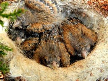 Bluthänflinge im Nest, © Peter Hill / Pixelio