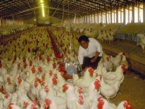 Bei der Bodenhaltung haben die Hennen nur wenig Platz und in den meisten Fällen kaum bis gar kein Tageslicht, gemeinfreies Werk via Wikipedia