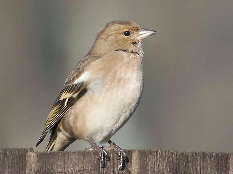 Weiblicher Buchfink (Fringilla coelebs), © Ian via Flickr
