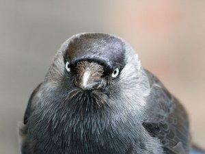 Dohle (Corvus monedula), © Michele Lamberti via Flickr