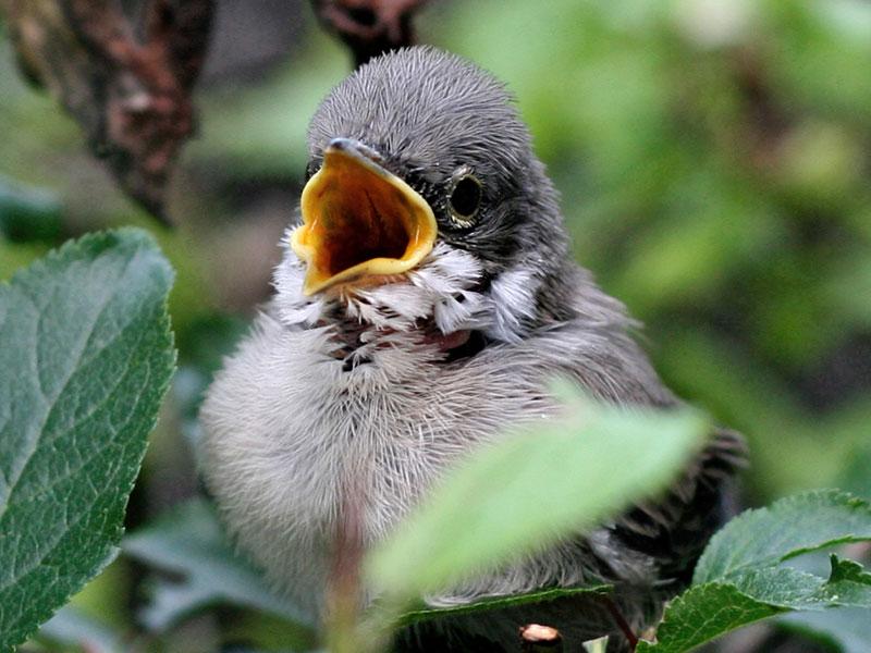 Junge, bereits flügge gewordene Dorngrasmücke, © complex / Pixabay