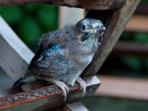 Dieser junge Eicheläher sieht bedürftig aus, wird aber wahrscheinlich noch von seinen Eltern mit Futter versorgt, © doevos via Flickr