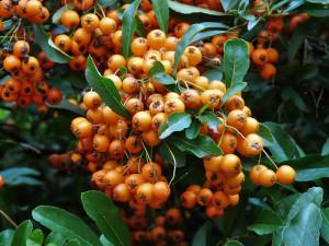 In Feuerdornhecken finden Vögel Verstecke und Brutplätze und außerdem fressen sie die Beeren, © Hans / Pixabay