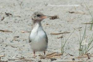 Junge Flussseeschwalbe © David Schenfeld via Flickr