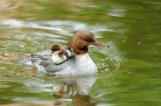 Gänsesäger-Mutter mit Küken, © zhouxuan12345678 via Flickr