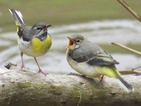 Bergeronnette des ruisseaux juvénile (à droite) mendier un oiseau adulte pour se nourrir, © Volker Saß via naturgucker.de